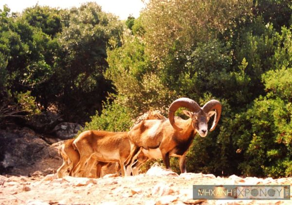 Wild goats belongs to the special species of animals lining in Sapientza